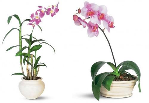 Dendrobium-Phalenopsis
