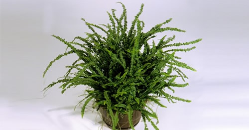 fern-for-indoor-air-purific