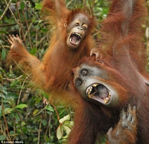 """Vaizdo rezultatas pagal užklausą """"Laugh loudly monkey"""""""