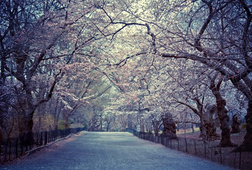 Spring Cherry Blossoms - Central Park - New York City